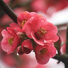 Japonica in the Rain by Pamela Jayne Smith