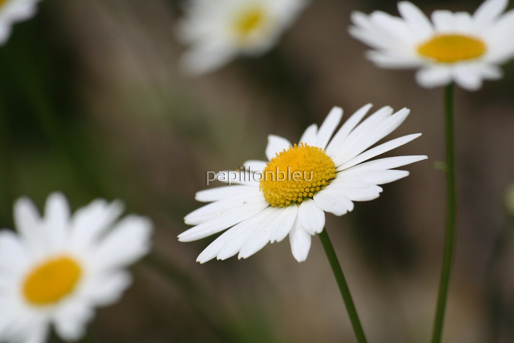 Maguarite Daisies by Pamela Jayne Smith