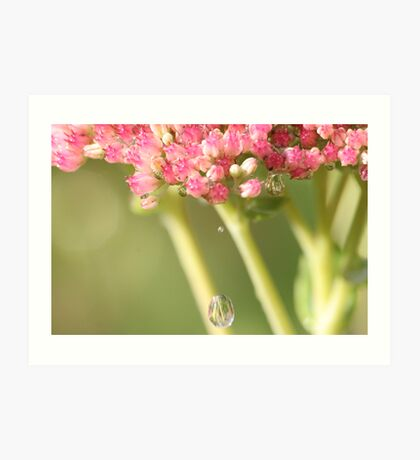 Ice Plant and the Water Drops Art Print