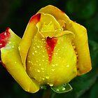 Yellow Rose by vadim19