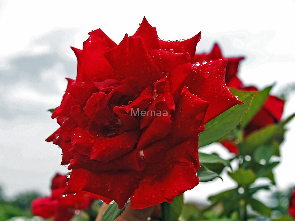 Red Rose After The Rain by Memaa