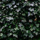 Ivy by smithandcompany