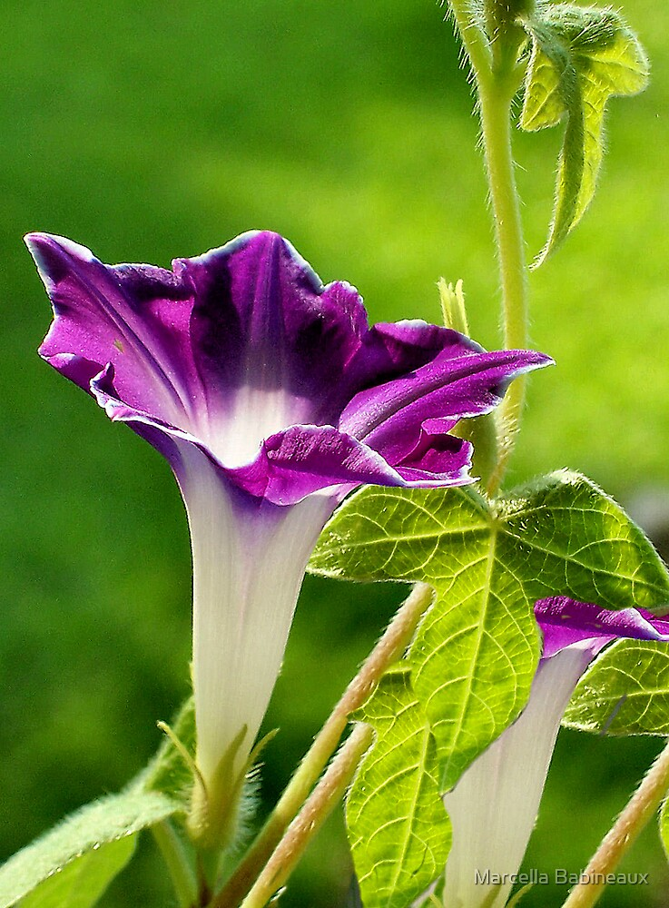Picotee Morning Glory by Marcella Babineaux