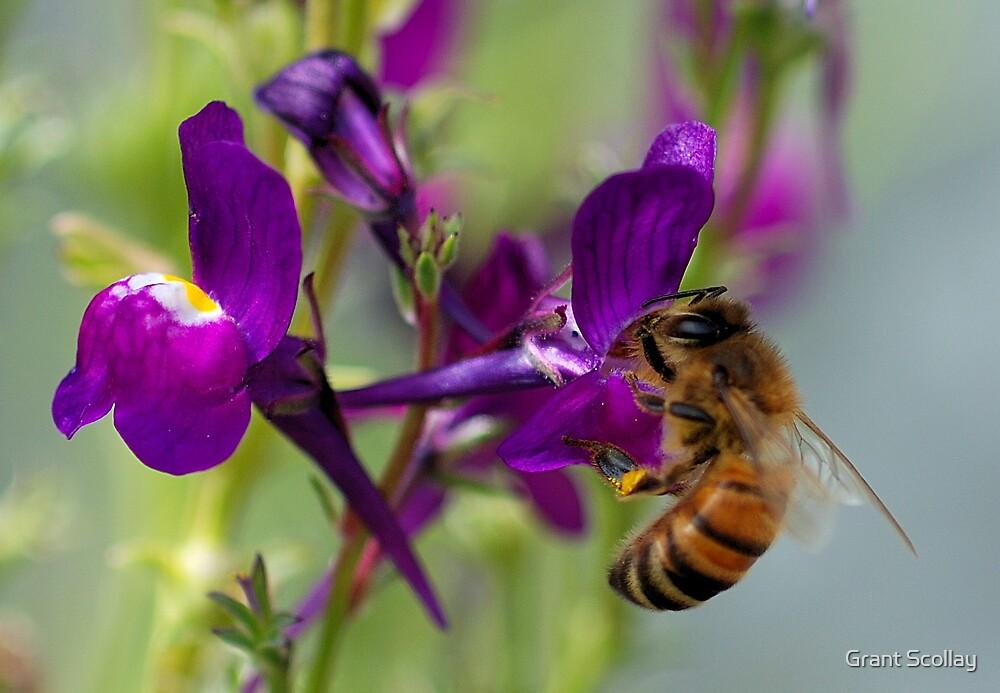 Bee Macro by Grant Scollay