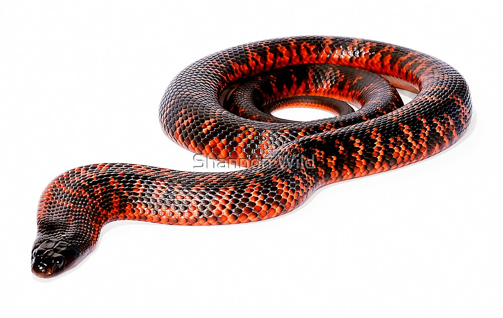 Collett's Snake (Pseudechis colletti) by Shannon Wild