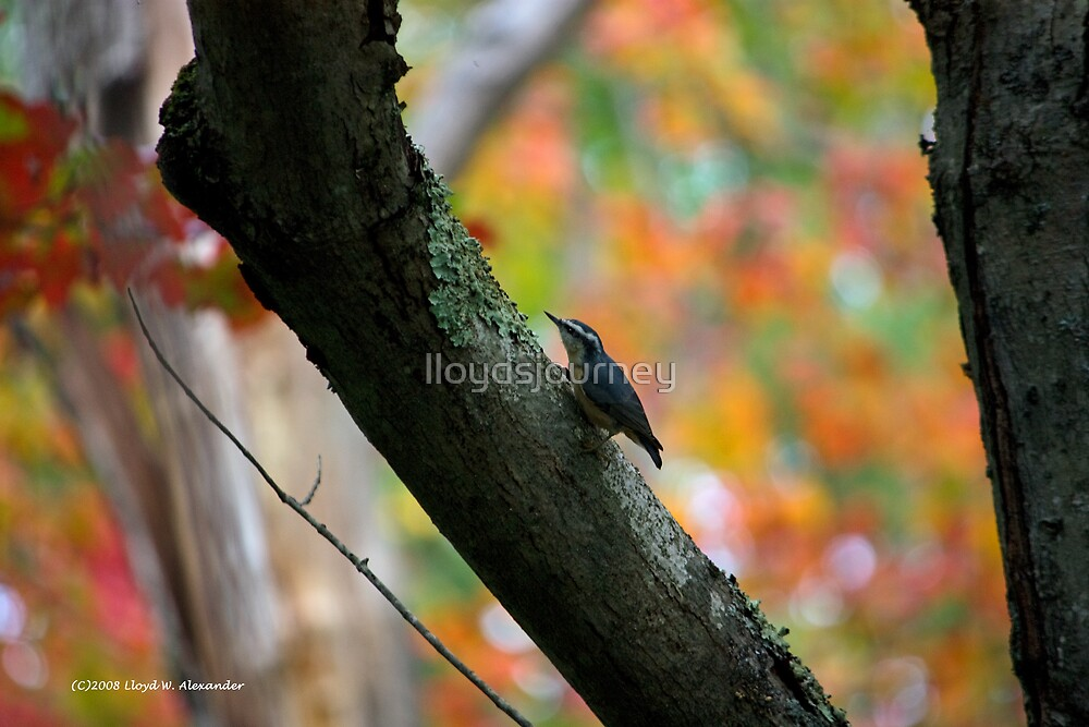 Nuthatch with a fall background by lloydsjourney