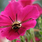 Clearwing Hummingbird Moth Busy (But Relaxed) in a Petunia Flower by Bonnie Boden