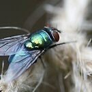 Bluebottle Fly Very Close by Bonnie Boden