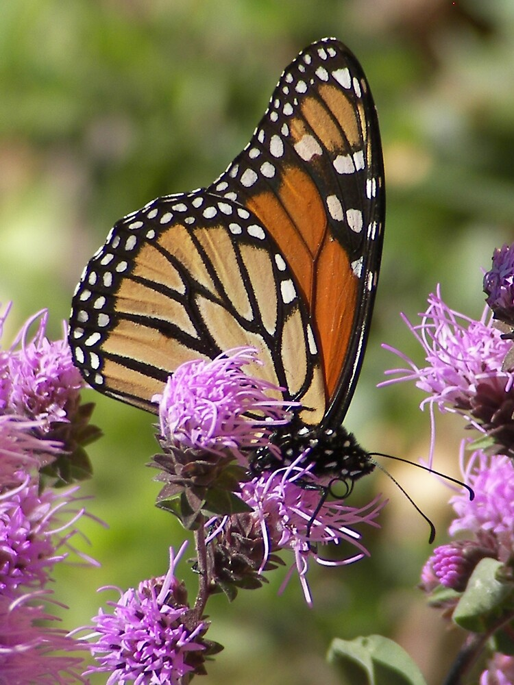Monarch and Rough Blazing Star by dhickman