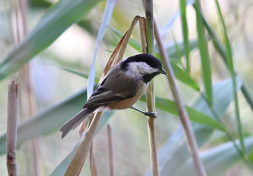 Chickadee in the marsh reeds by Linda Crockett