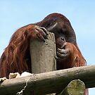 Orangutan........I'm the king of the castle.......! by Roy  Massicks
