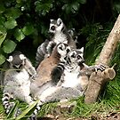 Ring-tailed Lemur...........!! by Roy  Massicks
