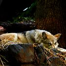 Mexican Wolf by flyfish70