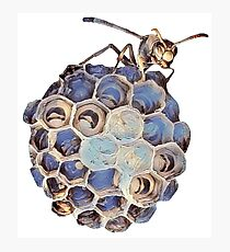 Australian Paper Wasp and her babies Photographic Print