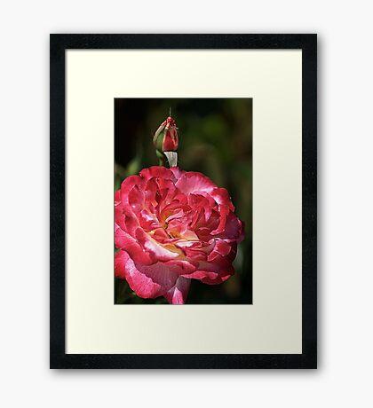 Happy Rose Framed Print
