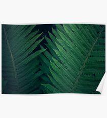Fresh young bright dark green fern, natural background texture, wild plants in summer Poster