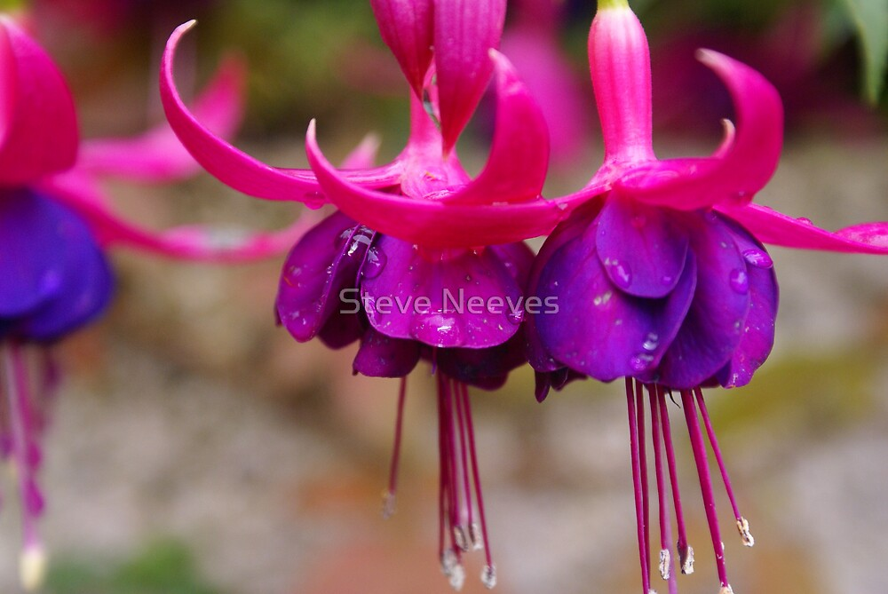 fusia by Steve Neeves