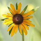 Little Yellow Daisy Flower by Pamela Jayne Smith