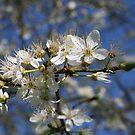 Spring Blossom by Pamela Jayne Smith