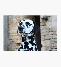 Sid the Dalmation Dog 2 Fotodruck