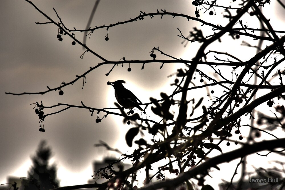 Bohemian Waxwing by James Bull