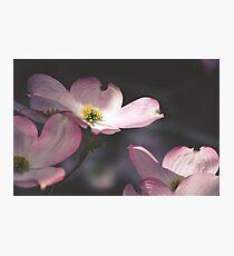 Pink Magnolia Photographic Print