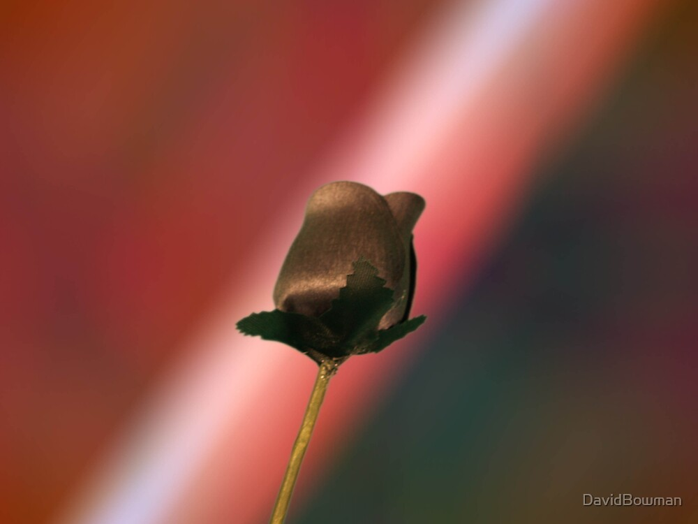 Black Rose (lge 2) by DavidBowman