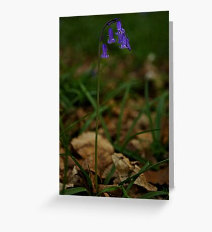 Single Bluebell in Prehen Woods, Derry Greeting Card