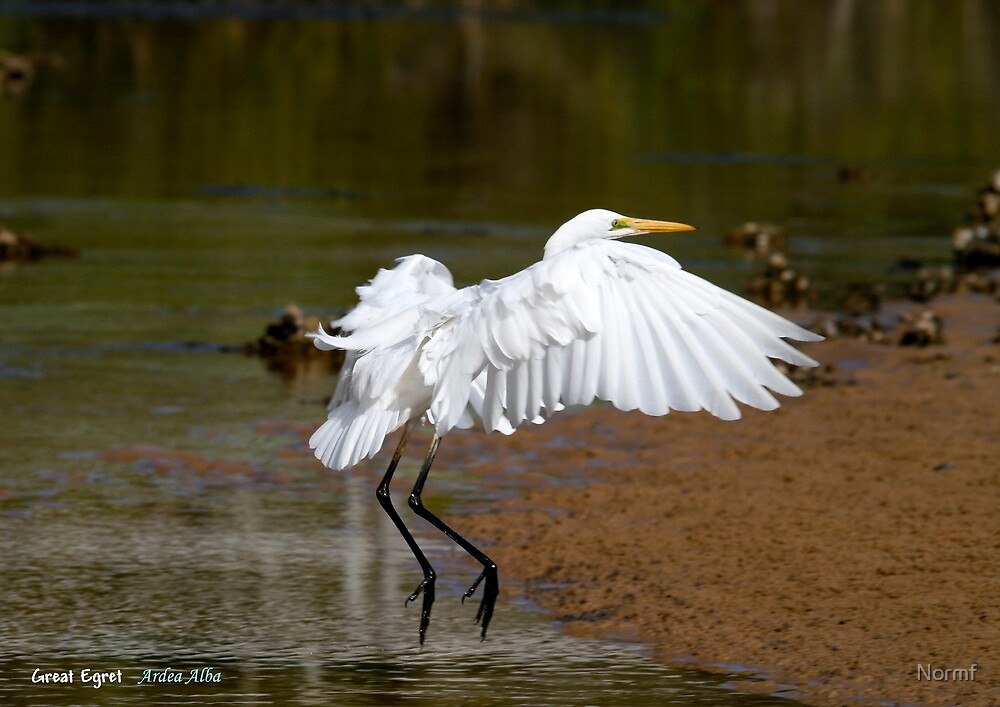 Eastern Great Egret (Ardea modesta).  by Normf