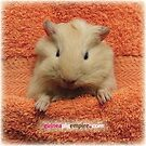 Chickpea – the face of Pig Tails by guineapigempire