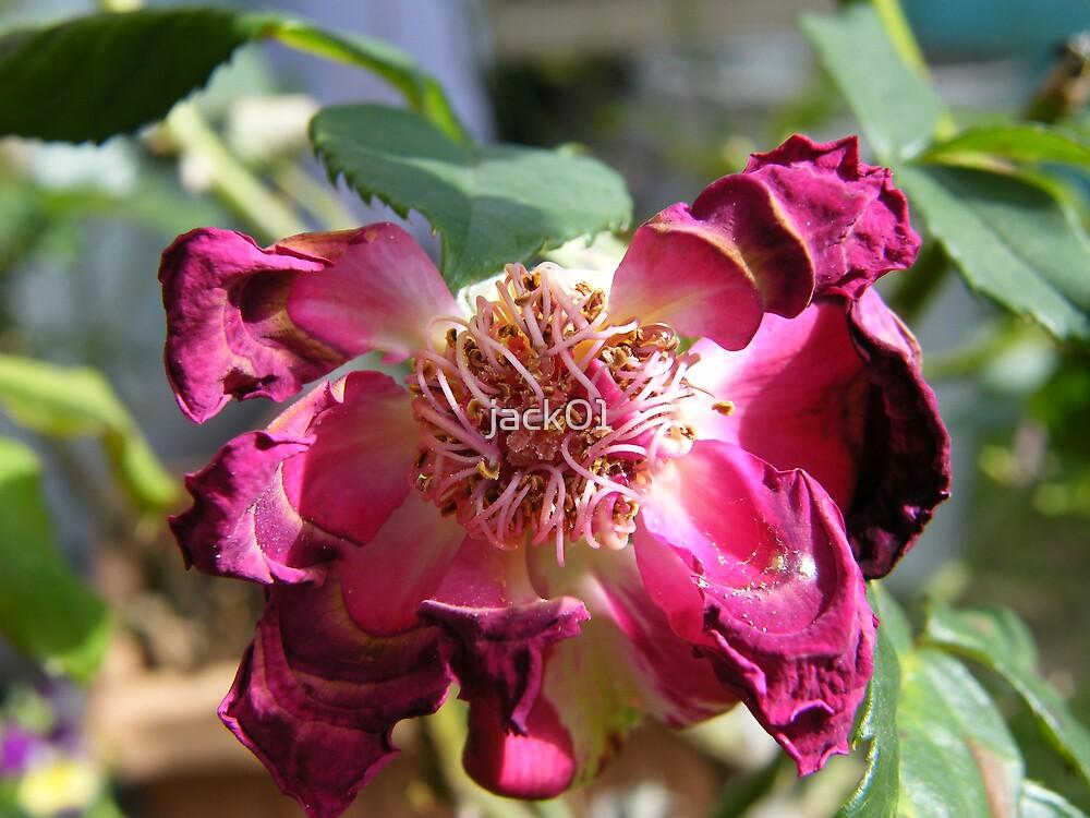 wind burnt rose by jack01