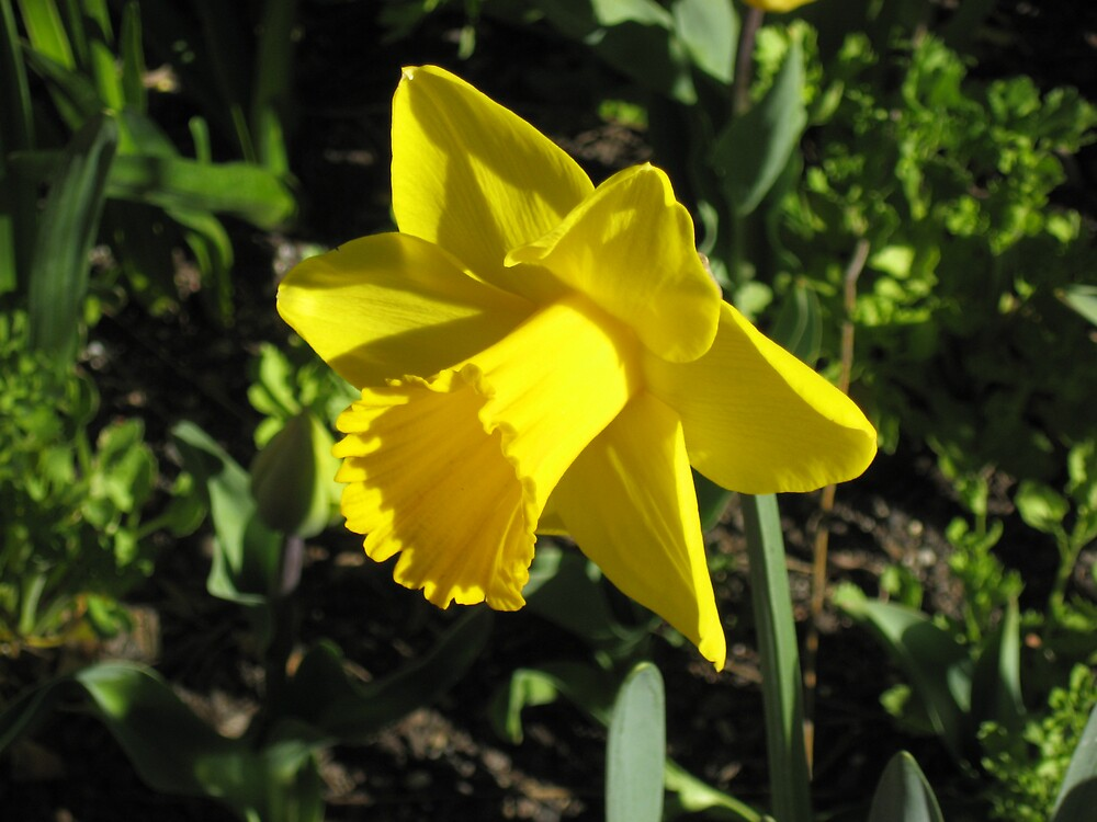Yellow Daffodil From Side by DPrior
