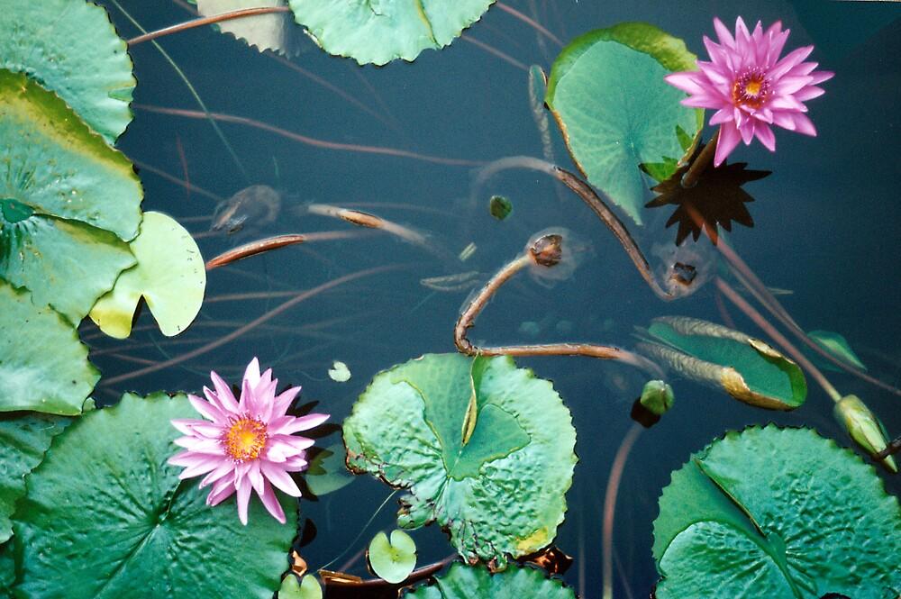 Waterlily by Karen Rich
