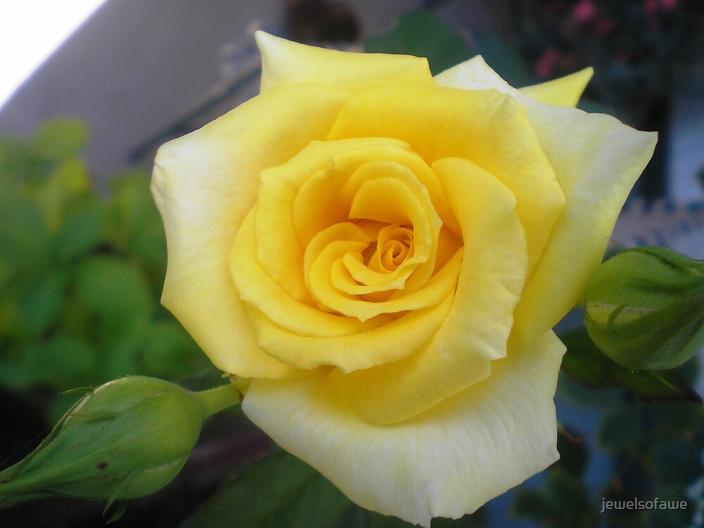 Yellow rose of Oregon by jewelsofawe