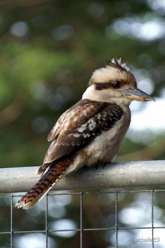 A Kookaburra by echelle23