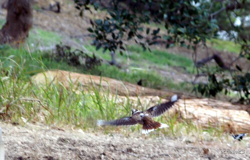 Kookaburra in Flight by echelle23