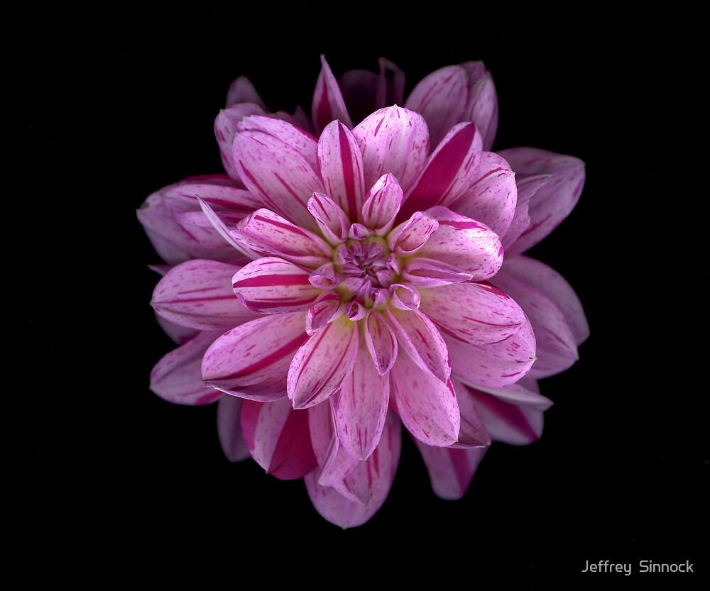 Purple striped Dahlia by Jeffrey  Sinnock