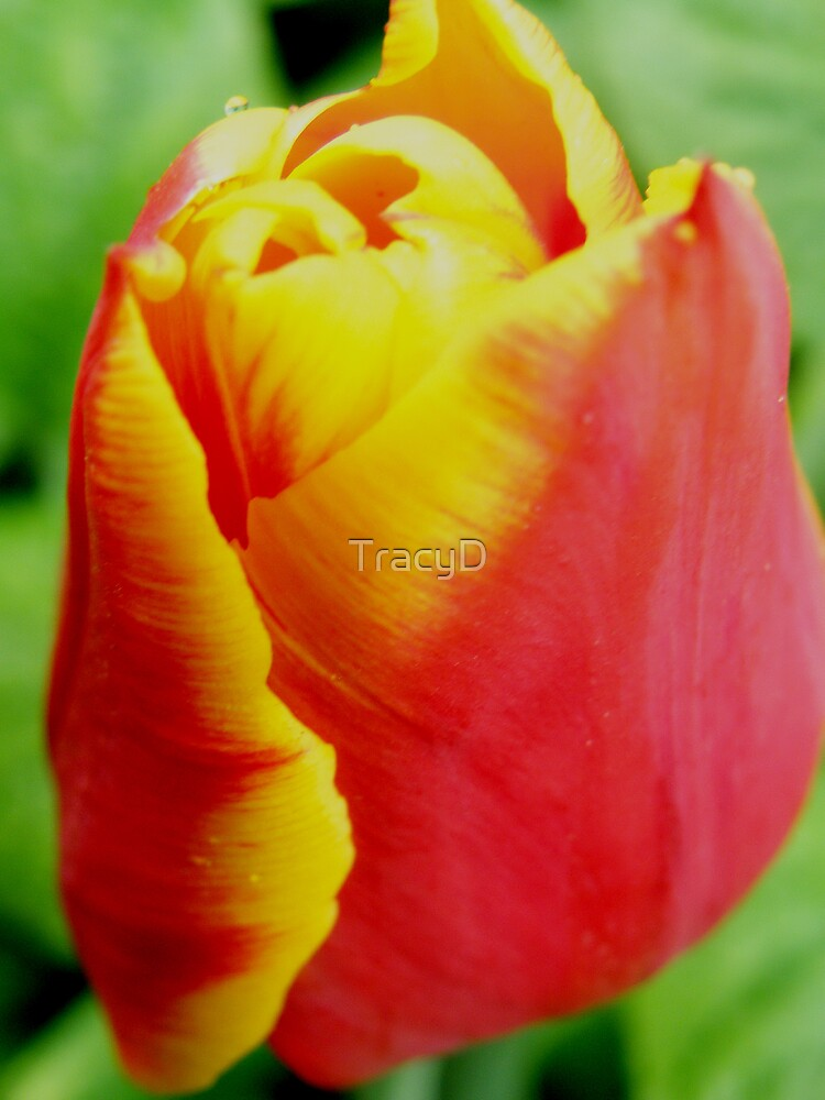 Tulip by TracyD