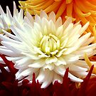 dazzling dahlias by mooksool