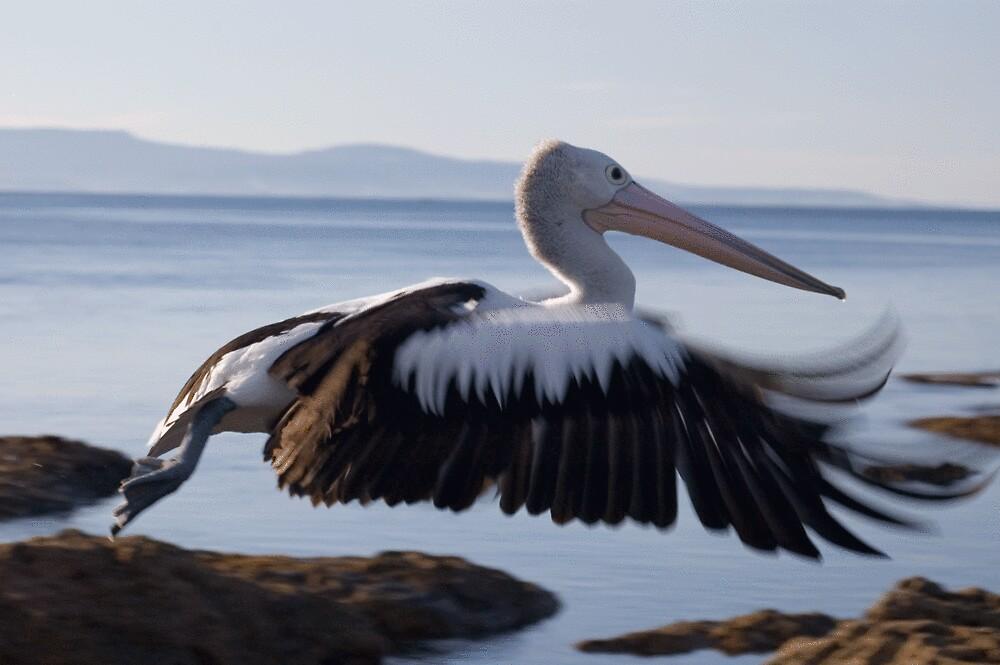 Pelican Takeoff by ONYAMARK