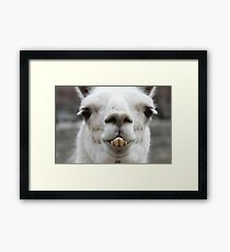 What are you looking at?  Llama Laughing Framed Print