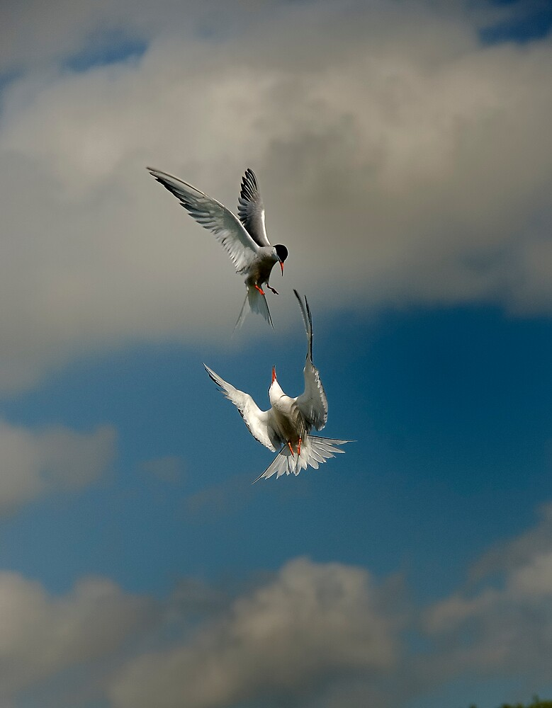 Male and female Terns by NARDO
