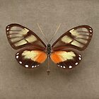 Glass Wing Butterfly by Alyson Fennell