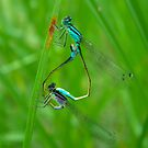 Dragonflies on the wing by newbeltane