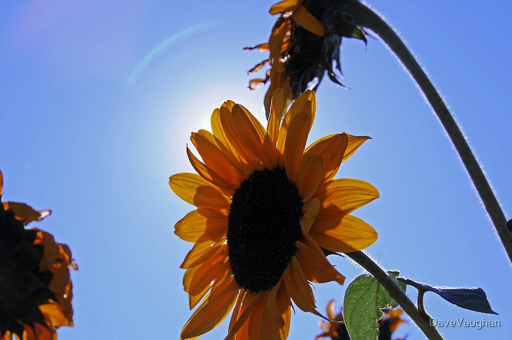 Sunflower by DaveVaughan