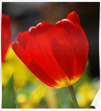 Sunny Tulip Poster