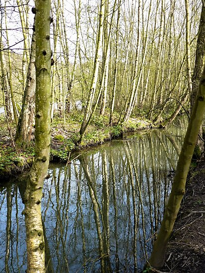 Silver birch trees by a side stream at Newmillerdam by Anna Myerscough