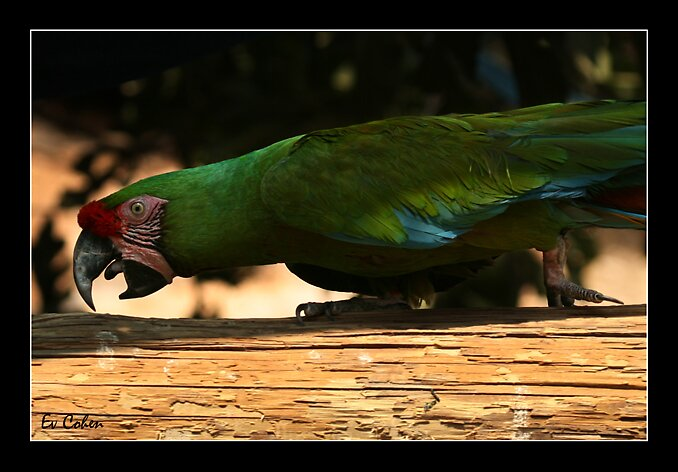 Parrot At Play by EvCohen