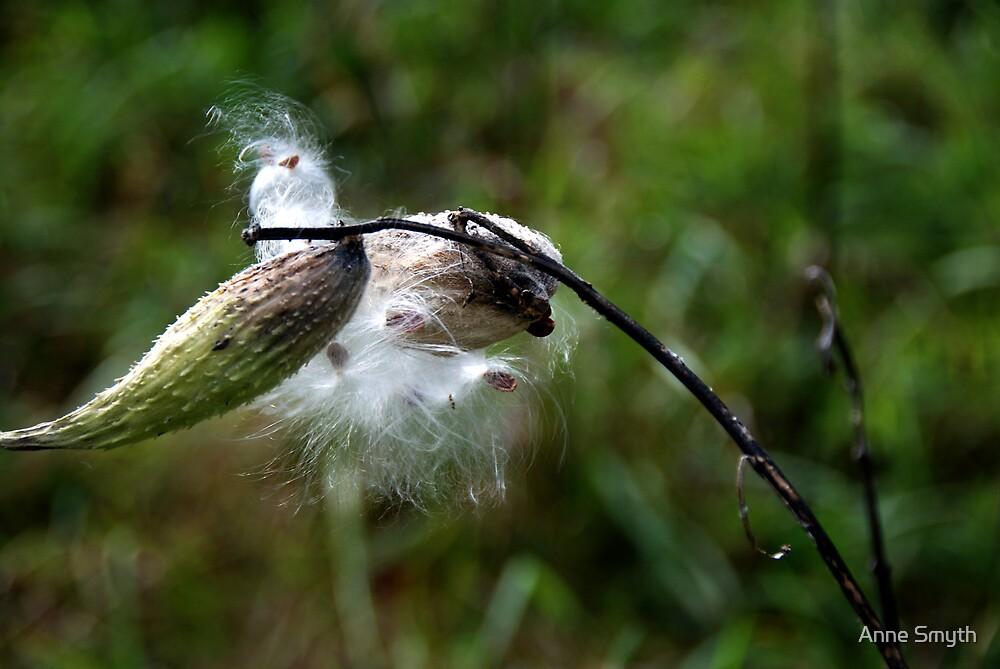 Milkweed 2 by Anne Smyth