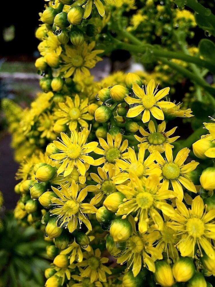 Aeoniumblumen in der Nahaufnahme von Douglas E.  Welch